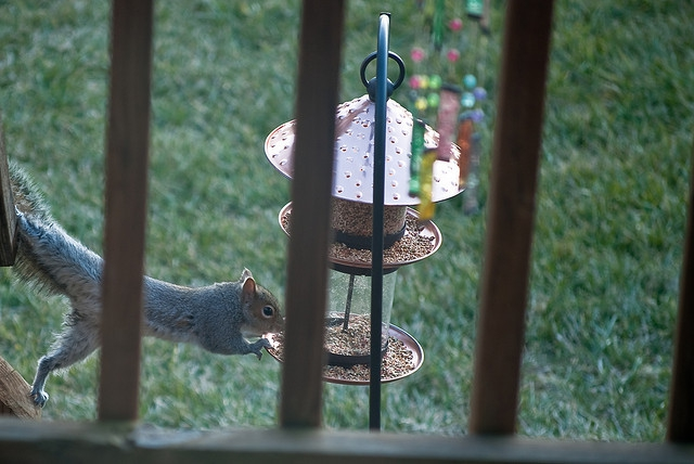 Photo of a Squirrel eating bird seed